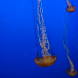 Urine Can Ease a Jellyfish's Sting: Say What?