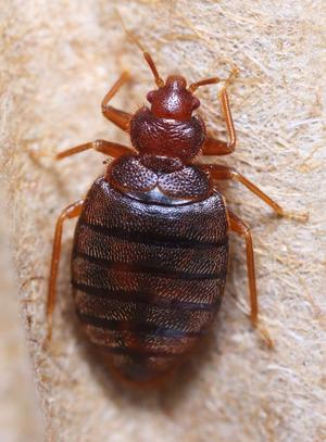 Can Anyone Sleep Tight with Bedbugs on the Rise?
